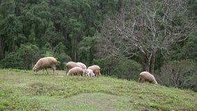 Gruppe Schafe, die auf Wiese herumsuchen stock video