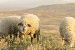 Gruppe Schafe, die Gras auf einem schönen Feld weiden lassen Lizenzfreie Stockfotografie