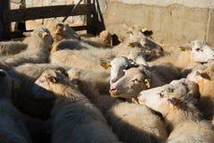 Gruppe Schafe in einem sheepfold Stockfoto