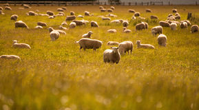 Gruppe Schafe im Bauernhof, Südinsel, Neuseeland Stockbilder