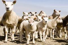 Gruppe Schafe und Lämmer Stockbilder