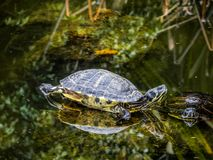 Gruppe Schildkröten in einem Teich lizenzfreie stockfotografie