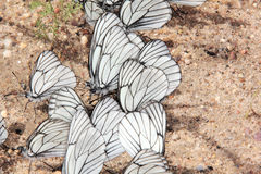 Gruppe Schmetterlinge. Stockfotografie