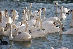 Gruppe Schwäne, die nahe zum Ufer mit Enten schwimmen stockbild