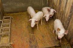 Gruppe Schweine Lizenzfreie Stockfotos