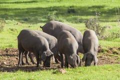 Gruppe Schweine, die auf dem Gebiet essen stockfotos