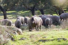Gruppe Schweine, die auf dem Gebiet essen lizenzfreie stockfotografie
