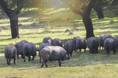 Gruppe Schweine, die auf dem Gebiet essen lizenzfreie stockfotos