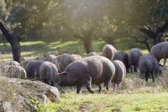 Gruppe Schweine, die auf dem Gebiet essen lizenzfreies stockbild