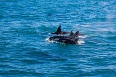 Gruppe Schwertwale im Wasser mit Baby lizenzfreie stockfotografie