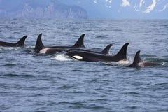 Gruppe Schwertwale im wilden stockfoto