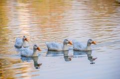 Gruppe schwimmende Enten Stockfoto