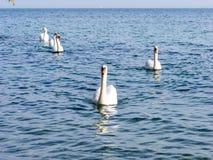 Gruppe schwimmende weiße Höckerschwäne Stockfoto