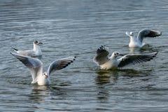 Gruppe Seemöwen, die vorbei fliegen und auf Wasser landen stockbild