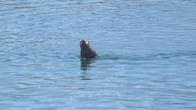 Gruppe Seeotter in Alaska stock video footage