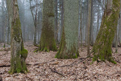 Gruppe sehr alte decidous Bäume nebeneinander im laubwechselnden Stand des Frühjahres Stockfoto