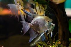 Gruppe silberne Fische Stockfoto
