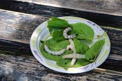 Gruppe silkwormers in einer Platte gr?ne Bl?tter essend lizenzfreies stockfoto