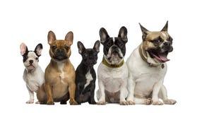 Gruppe Sitzen der französischen Bulldogge Stockfotos