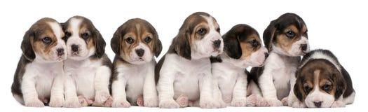 Gruppe Spürhundwelpen, 4 Wochen alt, sitzend Lizenzfreies Stockfoto