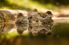 Gruppe Spatzen reflektiert im Regenwasser Stockbilder