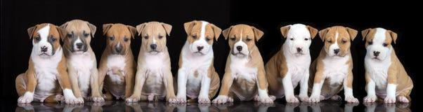 Gruppe Staffordshire-Terrierwelpen, die auf Schwarzem aufwerfen stockfotografie