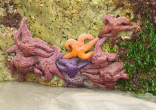 Gruppe Starfish Stockbild