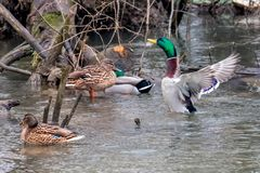 Gruppe Stockenten auf einem Fluss stockfoto
