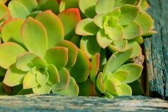 Gruppe Succulents Sempervivum Natürlicher Hintergrund, Gruppe von Stockbild