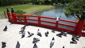 Gruppe Tauben stock video