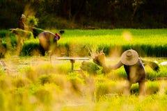 Gruppe thailändische Landwirte arbeiten auf dem Reisgebiet Lizenzfreie Stockfotografie