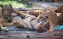 Gruppe Tiger mit lustiger Szene Lizenzfreie Stockfotografie