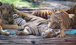 Gruppe Tiger mit lustiger Szene Stockbild