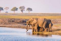Gruppe Trinkwasser der afrikanischen Elefanten von Chobe-Fluss bei Sonnenuntergang Safari und Boot der wild lebenden Tiere kreuze Lizenzfreie Stockbilder