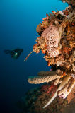 Gruppe tropische Koralle mit Salvador-Feinkostgeschäftjugendlichphotographie Stockfoto