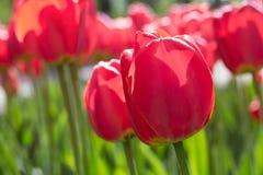Gruppe und Abschluss oben des roten einzelnen schönen Tulpenwachsens ingarden Lizenzfreies Stockfoto