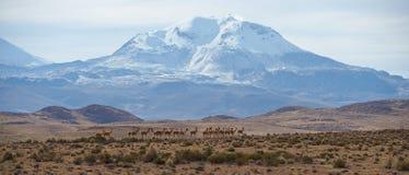 Gruppe Vicunja auf dem Altiplano Stockfotografie