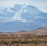 Gruppe Vicunja auf dem Altiplano Stockbild