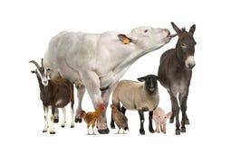 Gruppe Vieh lizenzfreies stockfoto