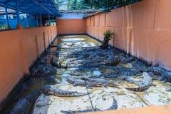 Gruppe vieler Krokodile aalen sich im konkreten Teich Croco Stockfotografie
