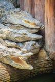 Gruppe vieler Krokodile aalen sich im konkreten Teich Croco Stockbild