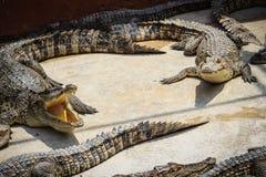 Gruppe vieler Krokodile aalen sich im konkreten Teich Croco Lizenzfreie Stockbilder