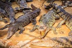 Gruppe vieler Krokodile aalen sich im konkreten Teich Croco Lizenzfreies Stockfoto