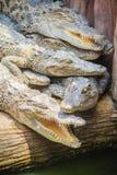 Gruppe vieler Krokodile aalen sich im konkreten Teich Croco Stockfotos