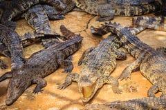 Gruppe vieler Krokodile aalen sich im konkreten Teich Croco Stockfoto