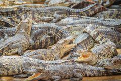 Gruppe vieler Krokodile aalen sich im konkreten Teich Croco Lizenzfreies Stockbild