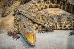 Gruppe vieler Krokodile aalen sich im konkreten Teich Croco Lizenzfreie Stockfotografie
