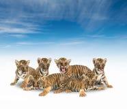 Gruppe von Babybengal-Tiger Stockfotografie