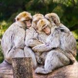Gruppe von Barbary-Makaken streichelnd Stockfotos