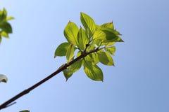 Gruppe von Blättern am Ende eines Hartriegel-Baumasts Lizenzfreie Stockfotografie